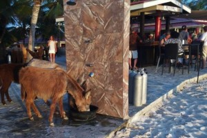 Donkeys drop by for drinks