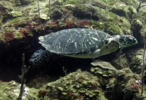 Turtle on reef - Grand Turk